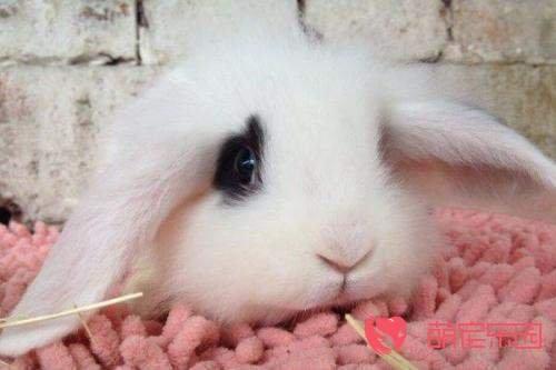 宠物兔和家兔有什么区别?
