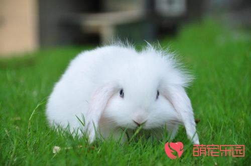 宠物兔和家兔的区别